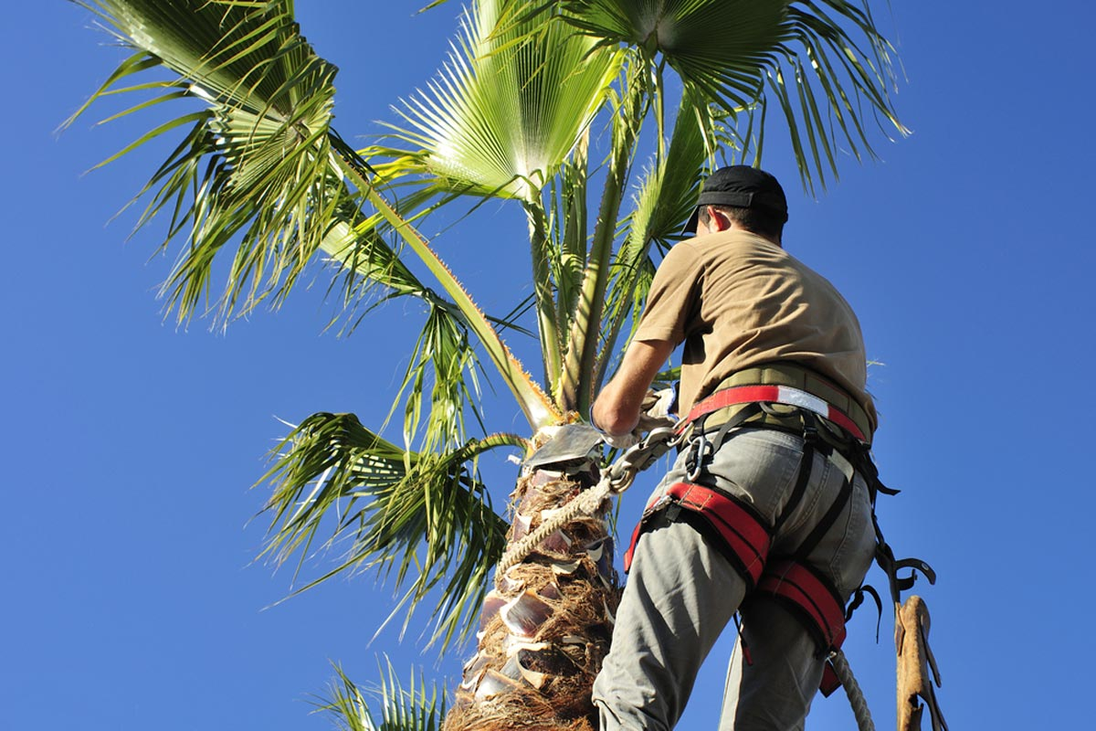 Palm Tree Trimming-Riviera Beach Tree Trimming and Tree Removal Services-We Offer Tree Trimming Services, Tree Removal, Tree Pruning, Tree Cutting, Residential and Commercial Tree Trimming Services, Storm Damage, Emergency Tree Removal, Land Clearing, Tree Companies, Tree Care Service, Stump Grinding, and we're the Best Tree Trimming Company Near You Guaranteed!